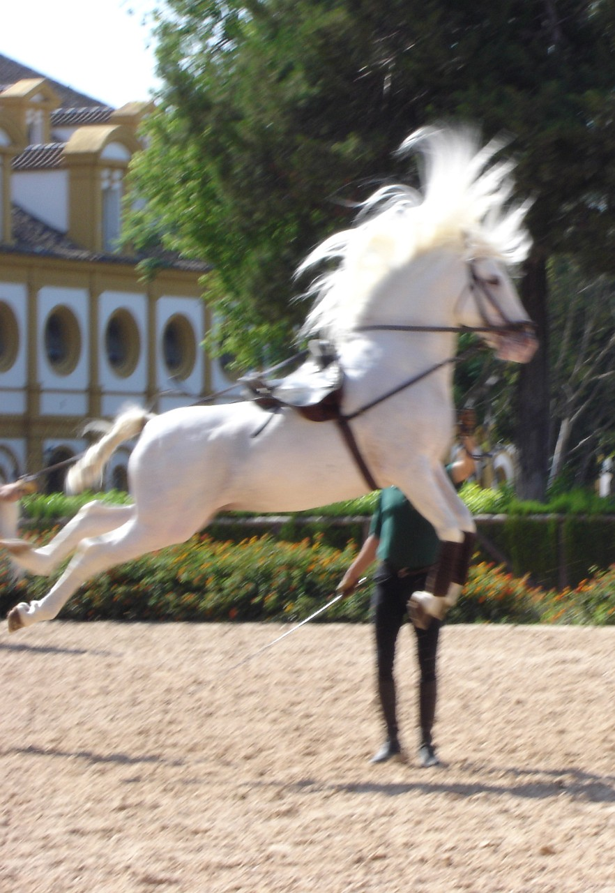 Magnificent dancing Andalusian horses in Jerez