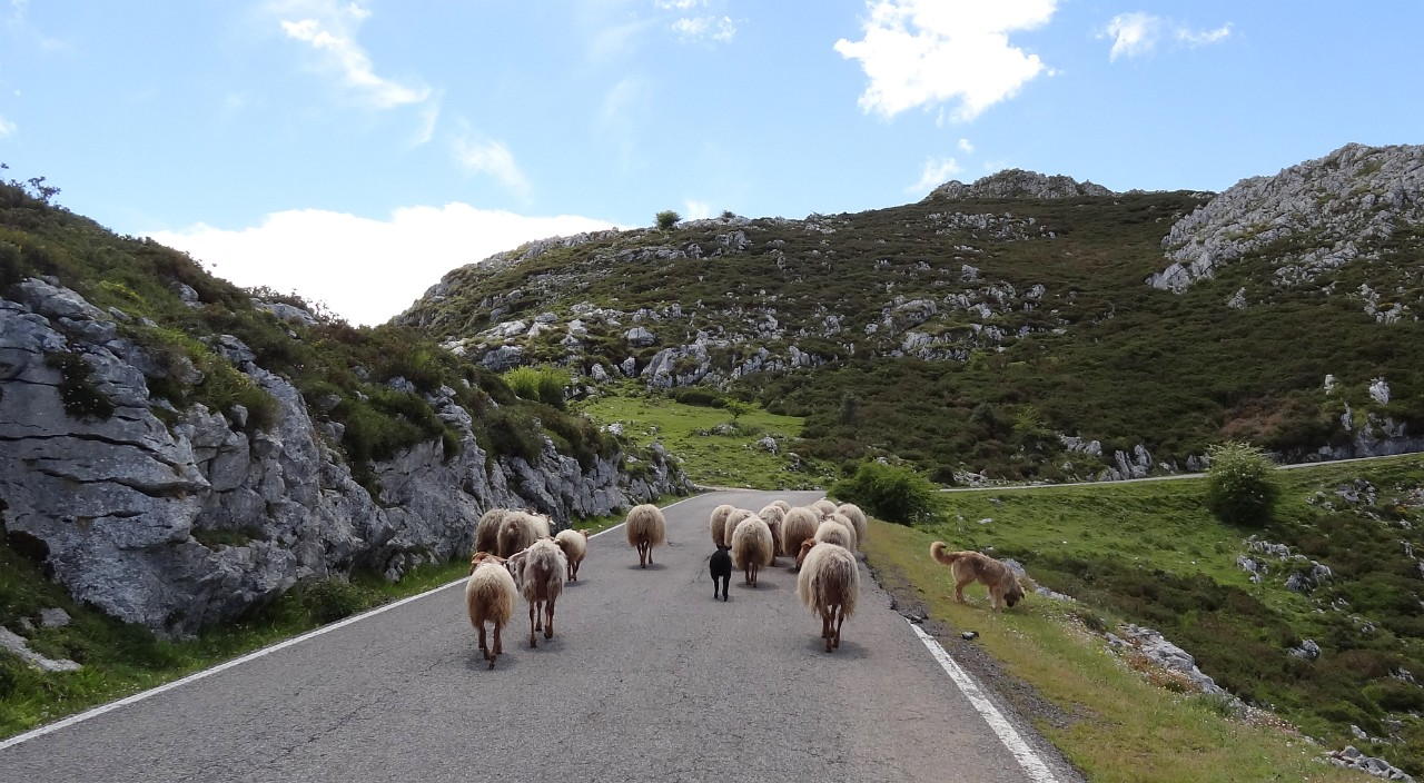 Sheep on the road to Covadonga