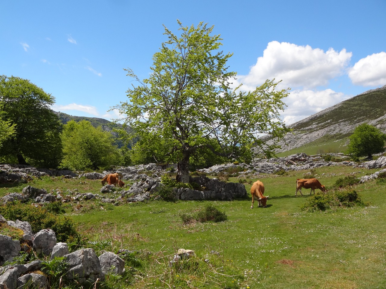 Covadonga meadows and cows